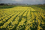 The Daffodil Farm in Andreas.